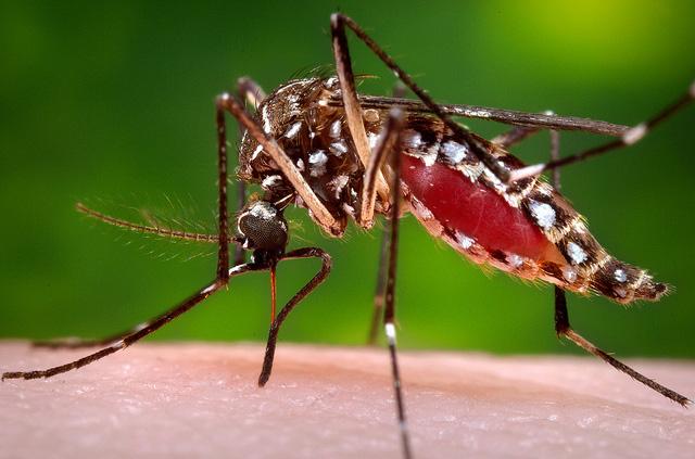 mosquito-chin
